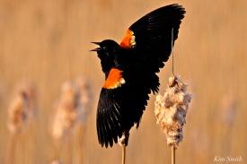 red-winged-blackbird-2-copyright-kim-smith