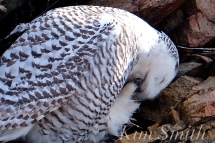Snowy Owl Washing Talons -3 Female Hedwig Bass Rocks Gloucester Ma copyright Kim Smith