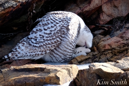 Snowy Owl Washing Talons Female Hedwig Bass Rocks Gloucester Ma copyright Kim Smith