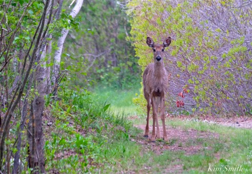 white-tailed-deer-doe-copyright-kim-smith