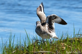 Winsome willet-tringa-semipalmata-massachusetts-2-copyright-kim-smith
