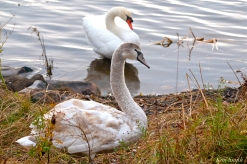 Young Swan Mr. Swan Niles Pond First Hatch Year Cygnet copyright Kim Smith