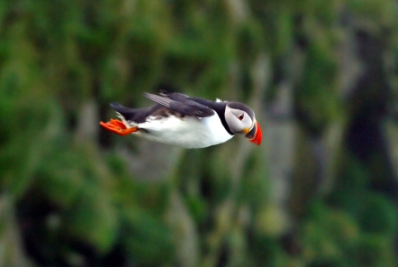 Atlantic_Puffin_in_flight