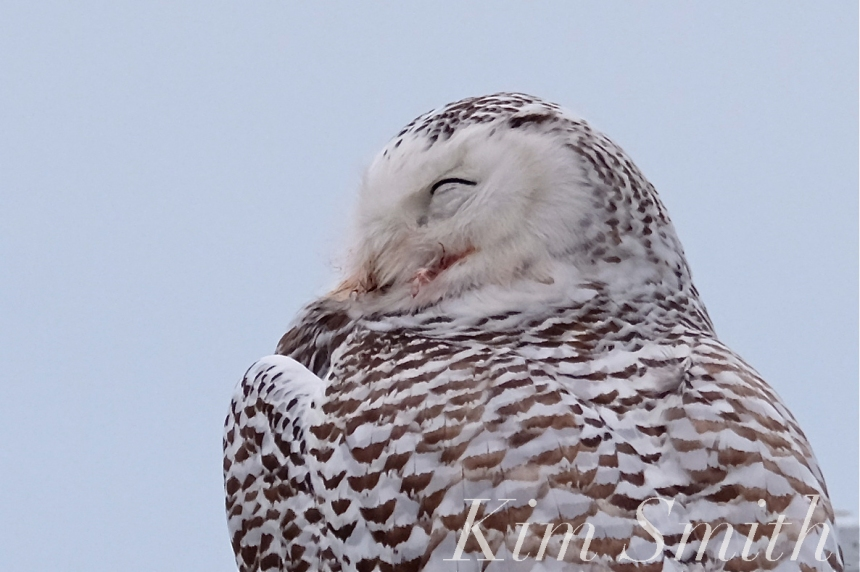 Our winter resident snowy owl hedwig finds plenty to eat along the backshore prior to taking off to hunt in the early evening we see her swivel her head