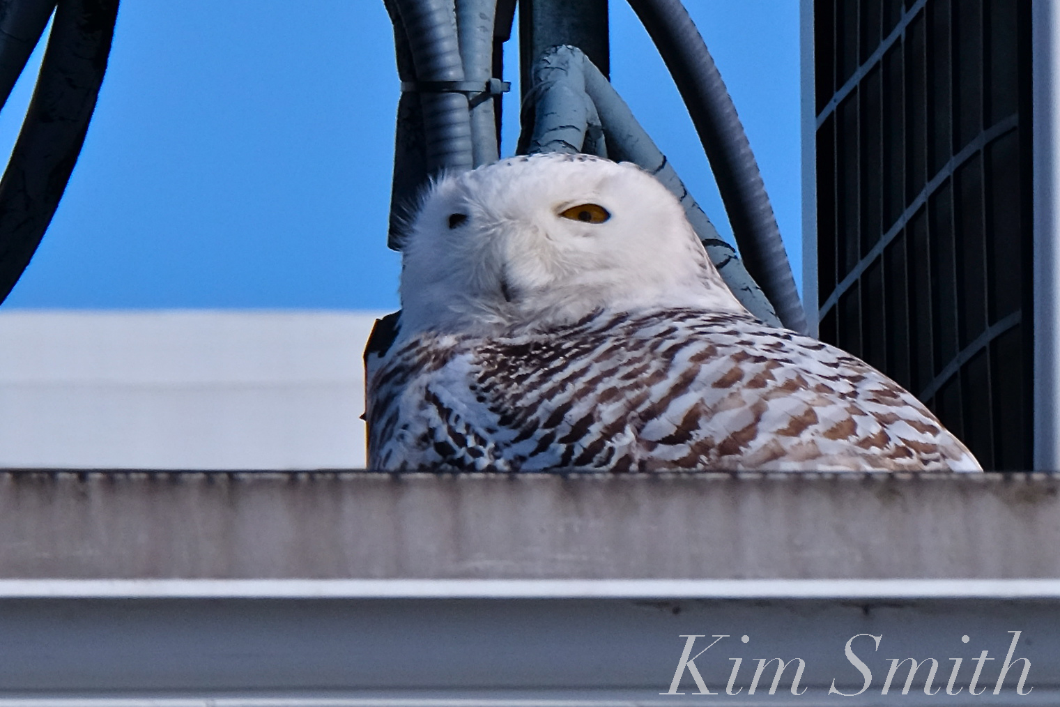 Snowy owl hedwig survies march noreaster riley by kim smith our beautiful snowy owl hedwig survived and looks none the worse for wear she spent the afternoon of march 5th resting in a sunny but wholly unphotogenic biocorpaavc Choice Image