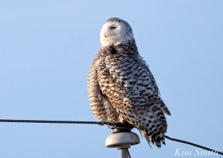 Snowy Owl Hedwig Triangulating -3 copyright Kim Smith