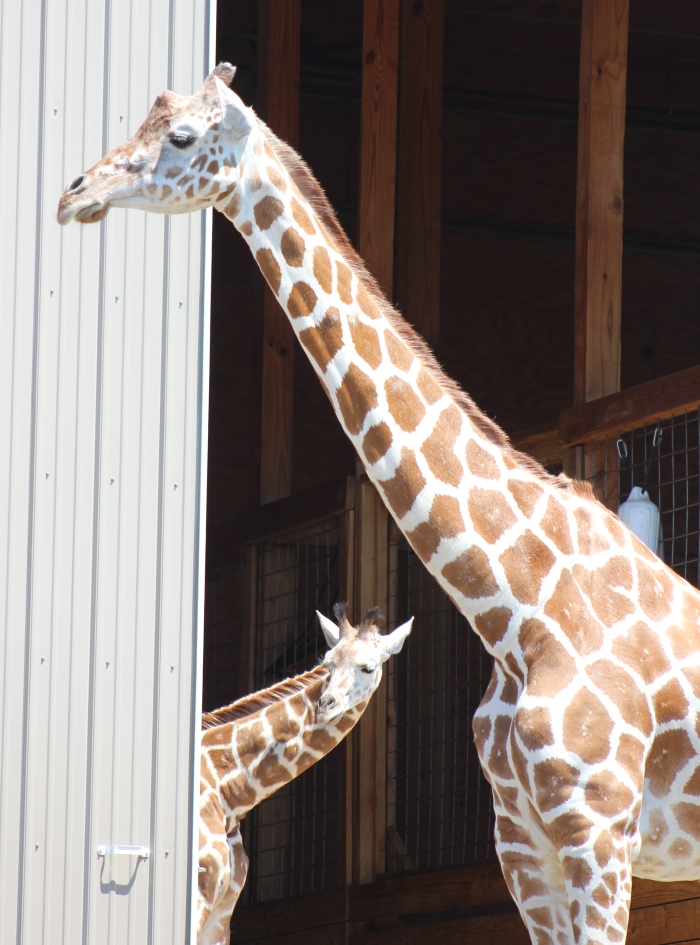 Giraffes at Animal Adventure 015