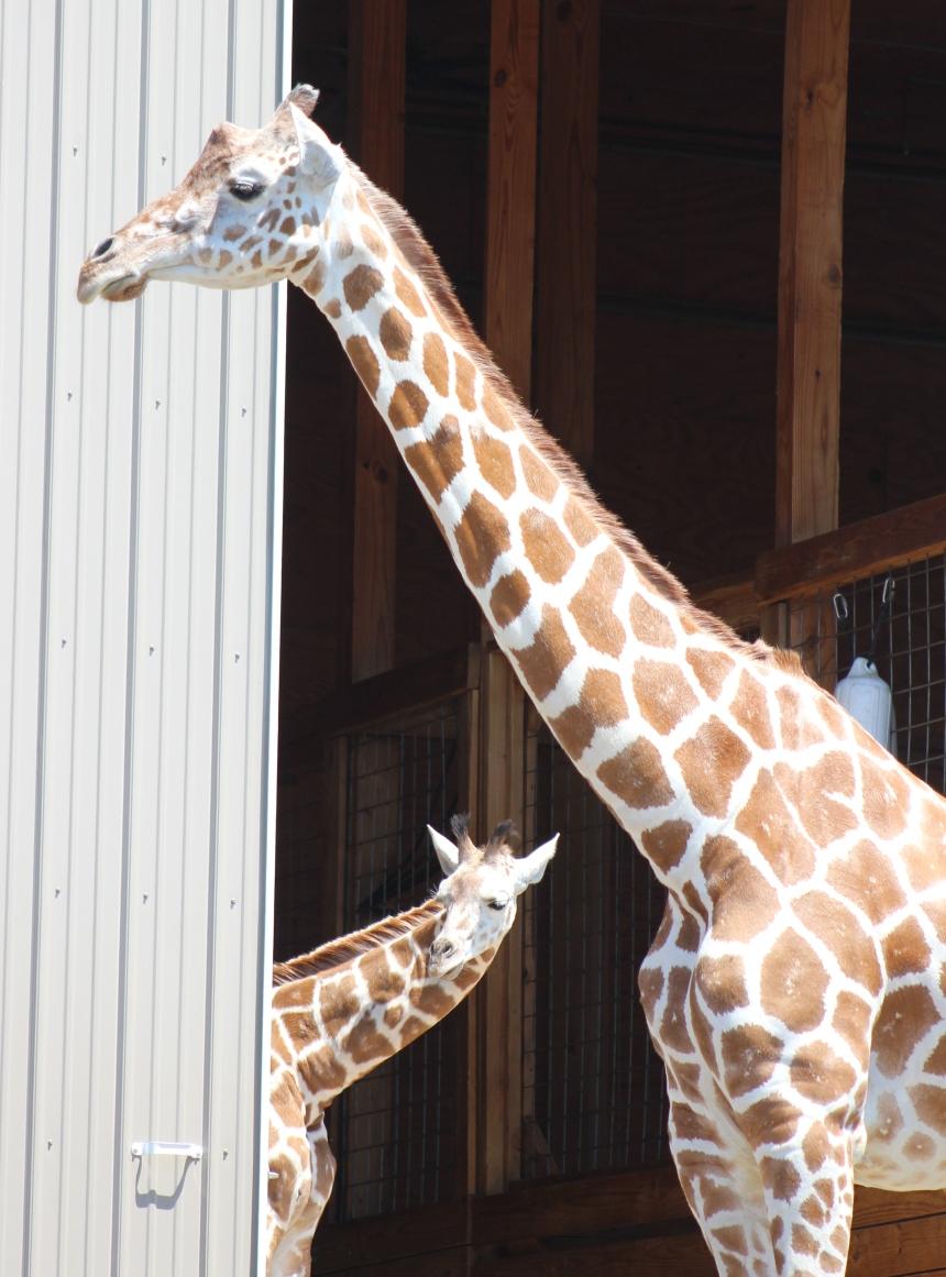 Giraffes at Animal Adventure 015