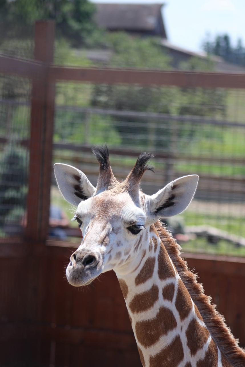 Giraffes at Animal Adventure 038