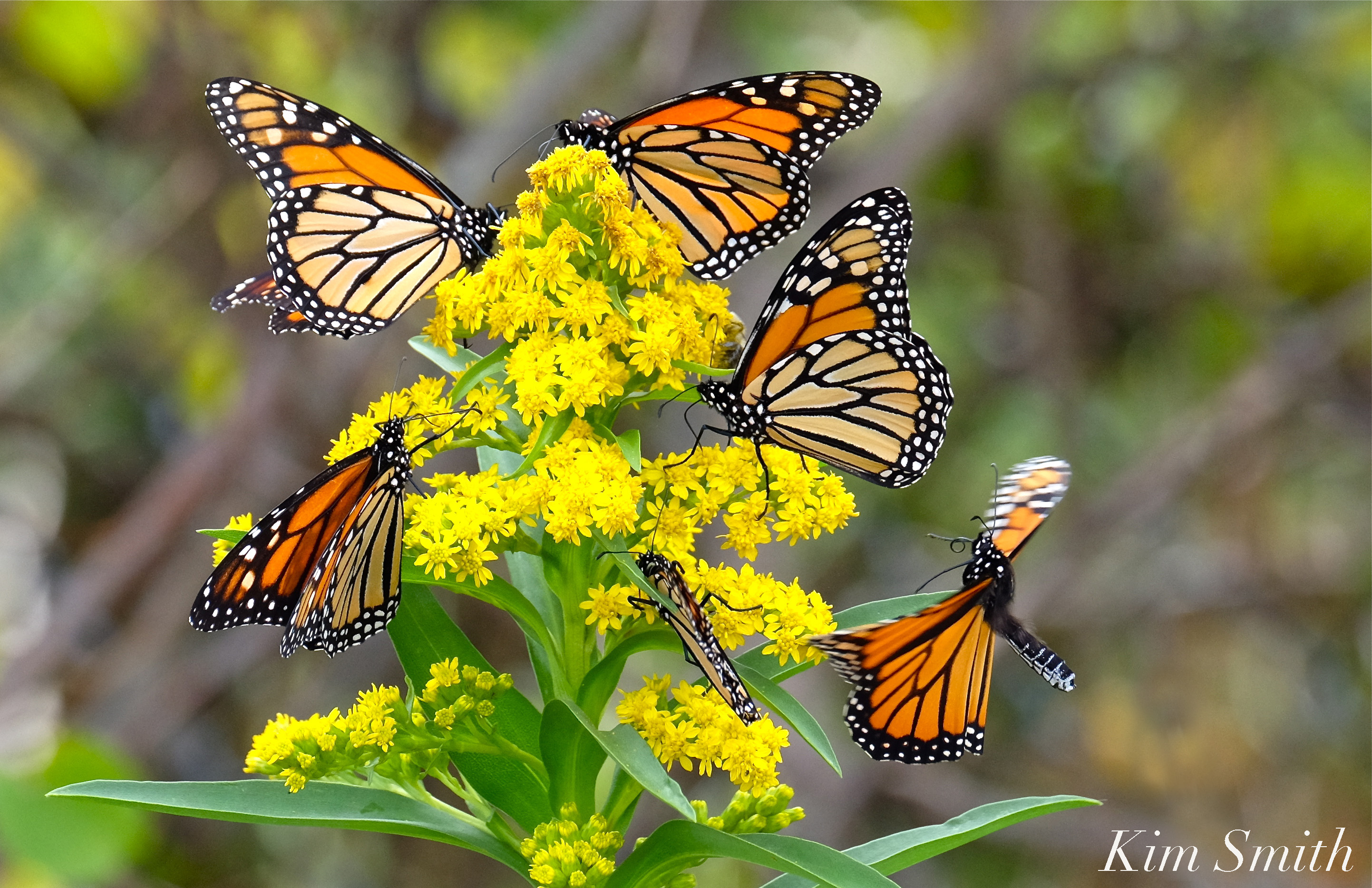 Monarch Butterfly Migration | GoodMorningGloucester - photo#32