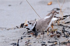 Piping Plover Courtship Male Making a Nest Scrape Gloucester MA -4 copyright Kim Smith