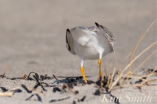 Piping Plover Male Cloaca Breeding Courtship Good Harbor Beach Gloucester MA copyright Kim Smith