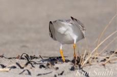 Piping Plover Male Cloaca Breeding Courtship Good Harbor Beach Gloucester MA copyright Kim Smith