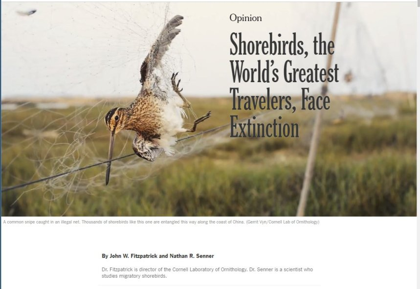 Shorebirds New York Times John Fitzpatrick Nathar Senner