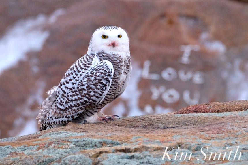 We love you too snowy owl prints for sale