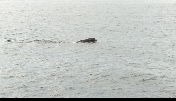 five right whales visible from shore Gloucester MA May 4 2018©c ryan still from short video.png