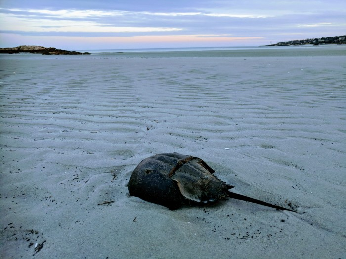 horseshoe crab wingaersheek beach low tide January 21 2018 ©c ryan