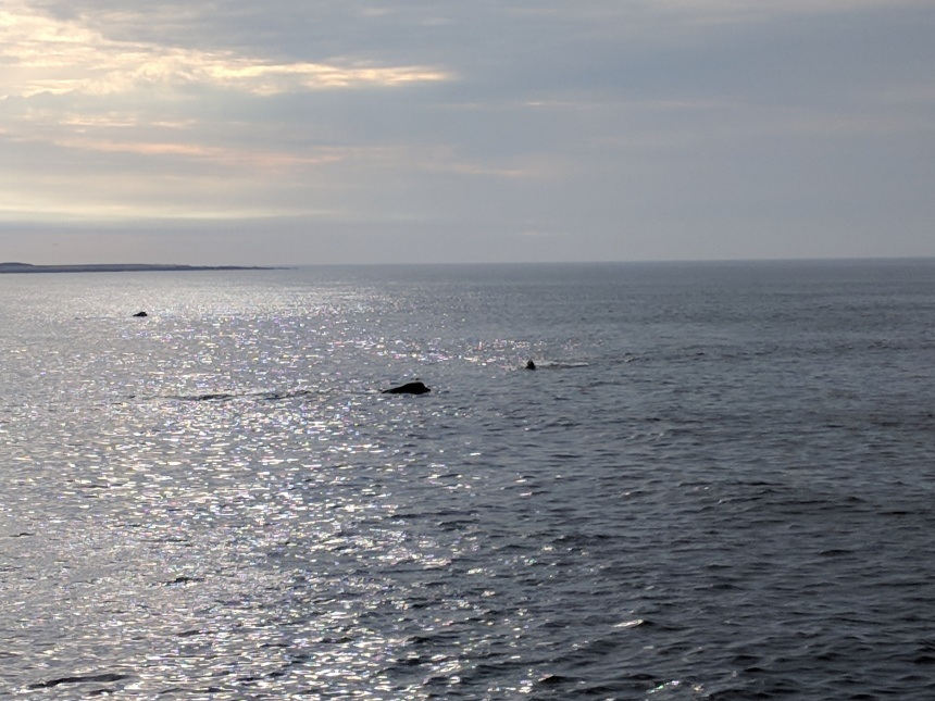 Right whales gloucester MA _20180504 visible from shore_074320 ©c ryan.jpg