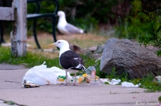 Gull Meeting of the Breakfast Club Good Harbor Beach Gloucester MA -2 copyright Kim Smith