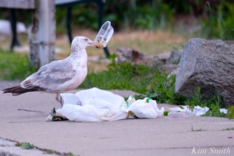 Gull Meeting of the Breakfast Club Good Harbor Beach Gloucester MA -3 copyright Kim Smith