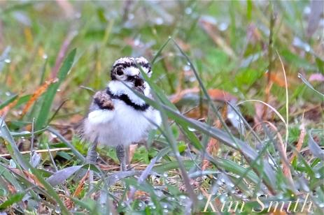 Killdeer Plover Chick Good Harbor Beach Gloucester MA -21 copyright Kim Smith