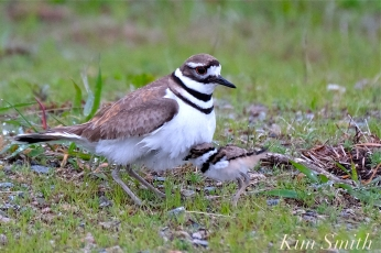 Killdeer Plover Chick Good Harbor Beach Gloucester MA -23 copyright Kim Smith