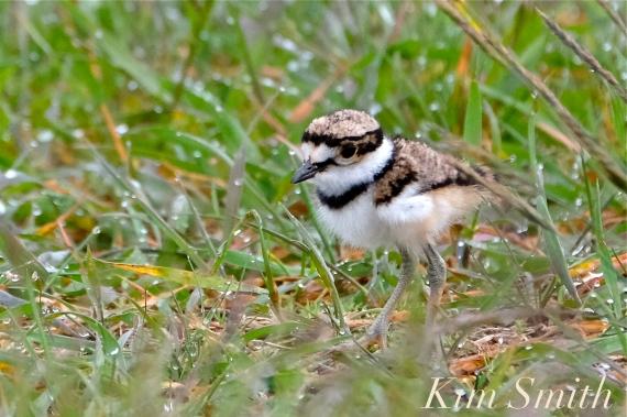 Killdeer Plover Chick Good Harbor Beach Gloucester MA -27 copyright Kim Smith