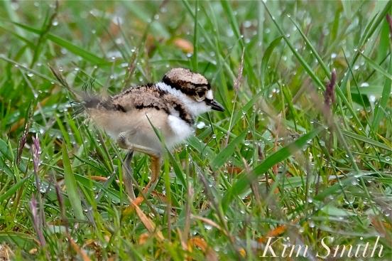 Killdeer Plover Chick Good Harbor Beach Gloucester MA -29 copyright Kim Smith