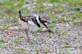 Killdeer Plover Chick Good Harbor Beach Gloucester MA -32 copyright Kim Smith
