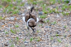 Killdeer Plover Chick Good Harbor Beach Gloucester MA -34 copyright Kim Smith