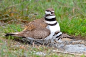 Killdeer Plover Chick Good Harbor Beach Gloucester MA -49 copyright Kim Smith