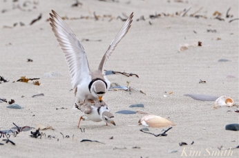 Piping Plovers Mating -3 Winthrop Beach MA copyright Kim Smith