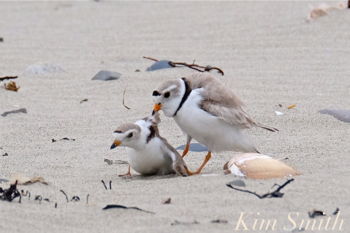 Piping Plovers Mating -4 Winthrop Beach MA copyright Kim Smith