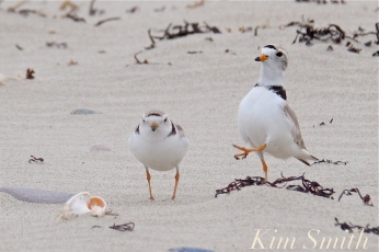 Piping Plovers Mating Winthrop Beach MA copyright Kim Smith