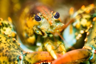 Up Close and Personal (Cape Ann Lobster) by Daryl Findlay