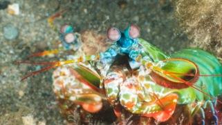 Peacock Pairing (Mantis Shrimp) by Ellen Garvey