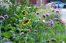 Mary Prentiss Inn Urban Pollinator Garden Cambridge MA -28 copyright Kim Smith