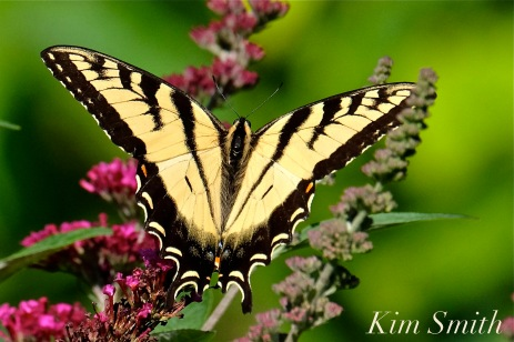 Eastern Tiger Canadian Tiger Swallowtail -2 copyright Kim Smith