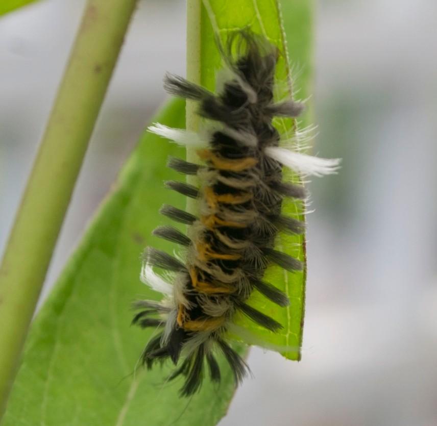 fuzzy caterpillar 1
