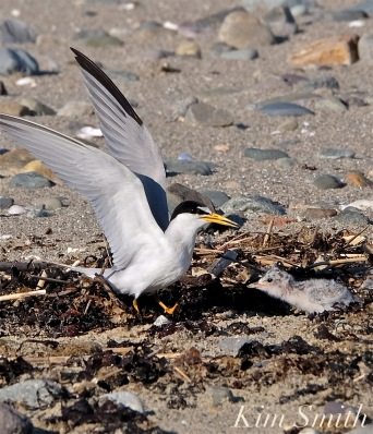 Least Tern One Week Old Chick -3 copyright Kim Smith