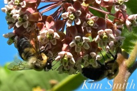 Milkweed and Bumble Bees copyright Kim Smith