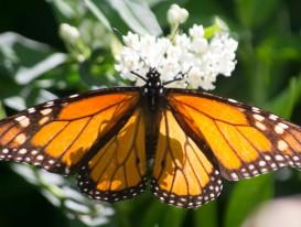 monarch on ice castle ascepias 1