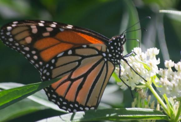 monarch on ice castle ascepias 2