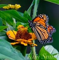Patti Papows Butterfly Garden Monarch Zinnia elegans 2018
