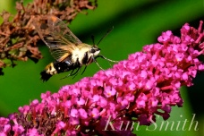 Snowberry Clearwing Moth Butterfly Bush -2 copyright Kim Smith