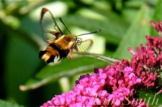 Snowberry Clearwing Moth Butterfly Bush copyright Kim Smith
