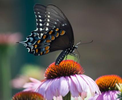 spicebush swallowtail 4