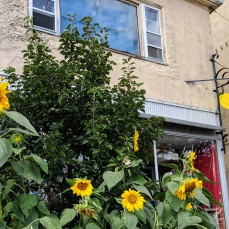 Sunflowers at every turn _ Bananas Main Street iconic store _ downtown Gloucester Mass©c ryan 2018 Aug 30 (3)