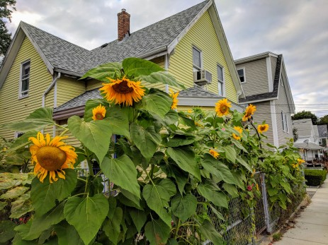 Sunflowers at every turn _ Centennial looking back to Washington _ downtown Gloucester Mass©c ryan 2018 Aug 30