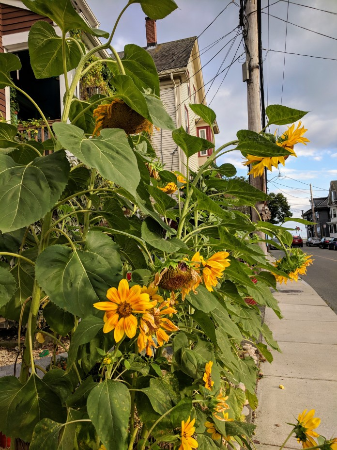 Sunflowers at every turn _ Centennial looking to Western Ave _ downtown Gloucester Mass©c ryan 2018 Aug 30